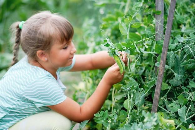 庭でグリーンピースを選ぶ少女。秋の野菜の収穫。えんどう豆
