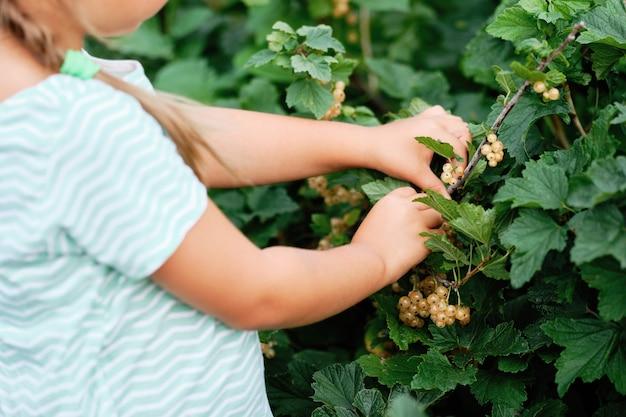 庭で白いスグリのベリーを選ぶ少女。秋の野菜の収穫。ブッシュフルーツ