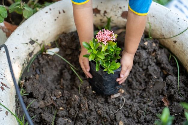 Little girl planting a ixora