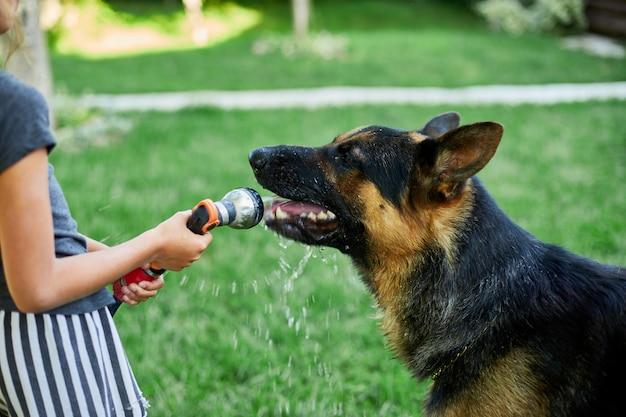 裏庭の家で暑い夏の日に犬のジャーマンシェパードのためにホースから水を噴霧している小さな女の子、遊び心のある、犬は庭のホースから水を捕まえようとします。