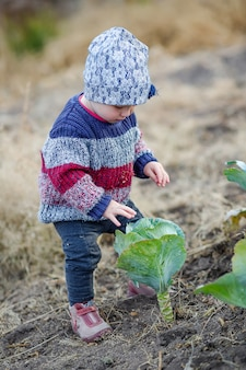 Little girl in warm sweater stands by unripe cabbage and picks cabbage leaves. child helps to harvest.
