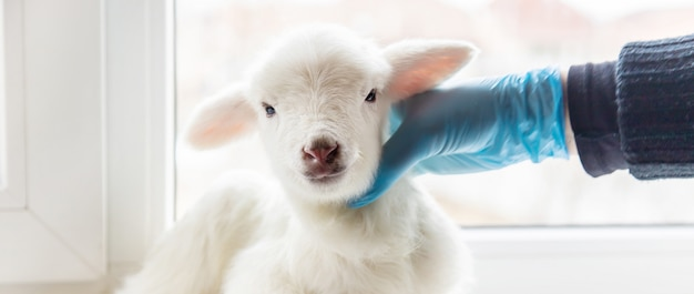 Little goat in the hands of a veterinarian to feed.