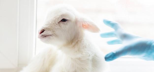 Маленькая коза в руках ветеринара кормить.