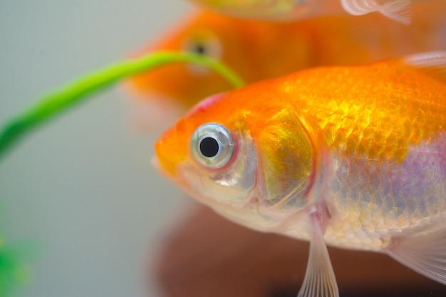 Little, gold fish in fish tank or aquarium