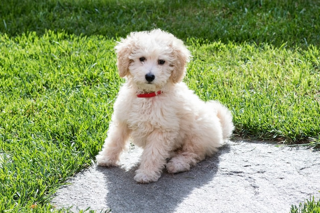 Little golden toy poodle puppy in the garden