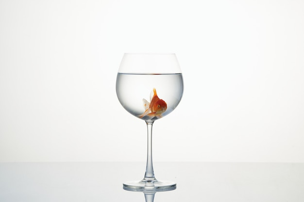 Little goldfish moving in wineglass of water