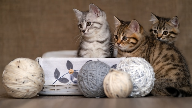 Little gray brothers kittens portrait inside a vintage box with wool ball yarns