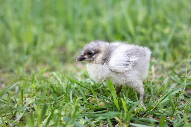 Little gray chicken on green grass. spring season. chicken breeding.