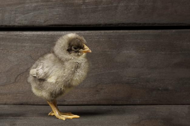 어두운 나무 방에 작은 회색 닭
