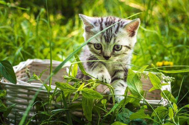 Little gray kitten on a basket in a park on green grass