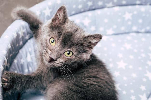 小さな灰色の子猫。ホームペット。閉じる