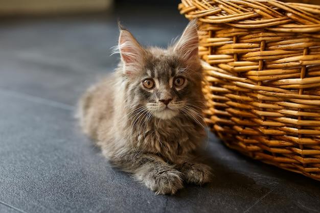 小さな灰色の子猫メインクーンは家の灰色の床に横たわっています Premium写真