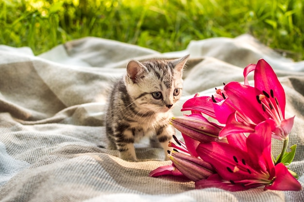 Little gray kitten on a plaid in a park on green grass with flowers lily.