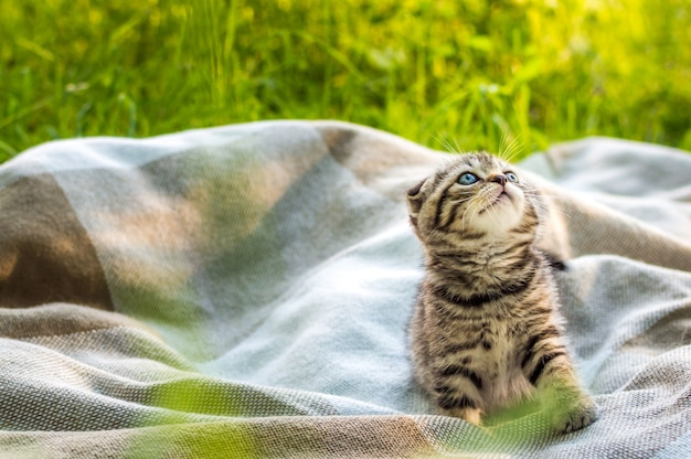 Little gray kitten on a plaid in a park on green grass.