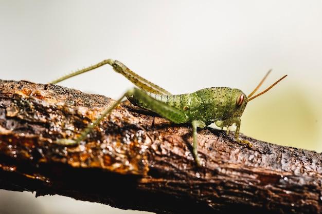 Маленький зеленый сверчок на ветке, макрос освобождения