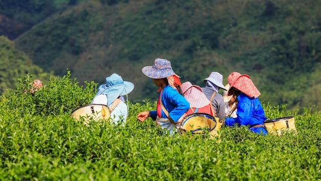 山と農家のタイの丘の上の小さな緑茶エリア