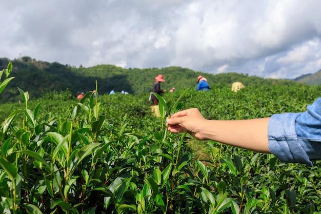 Маленький зеленый чай на руке и сельскохозяйственных угодьях с группой фермеров