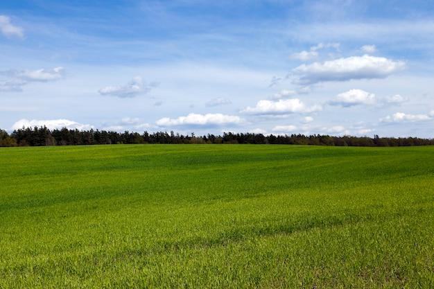 Маленькие зеленые растения пшеницы в весенний сезон.