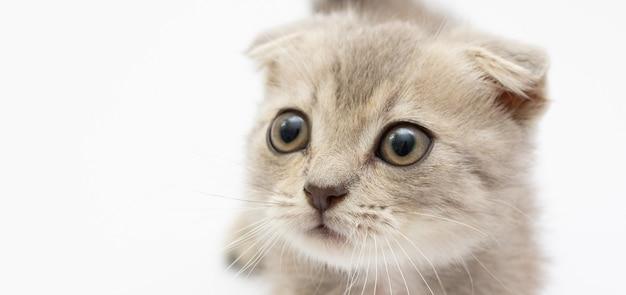 Маленькая серая кошка, изолированные на белом фоне