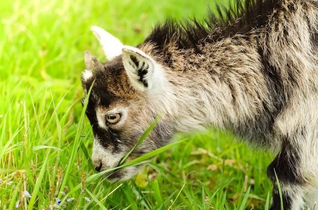 牧草地で緑の草を食べる小さな灰色のヤギ