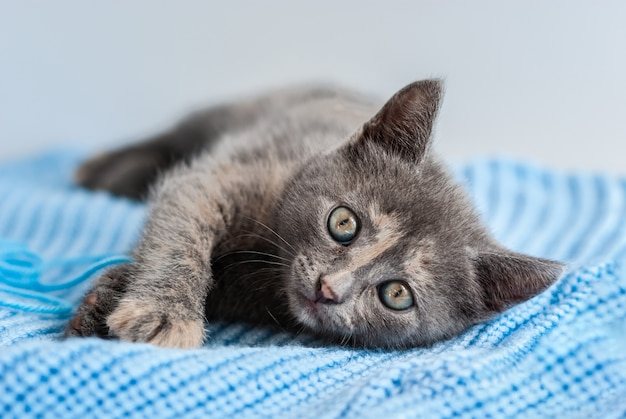 Little grey kitten lies on a blue knitted fabric and looking straight at camera