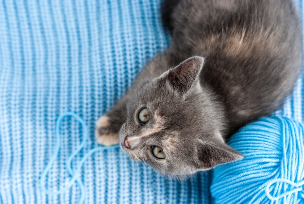 Little grey kitten lies on a blue knitted fabric with ball of thread, top view