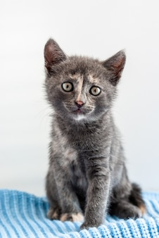 Little grey kitten sitting on a blue knitted fabric and looking straight at camera