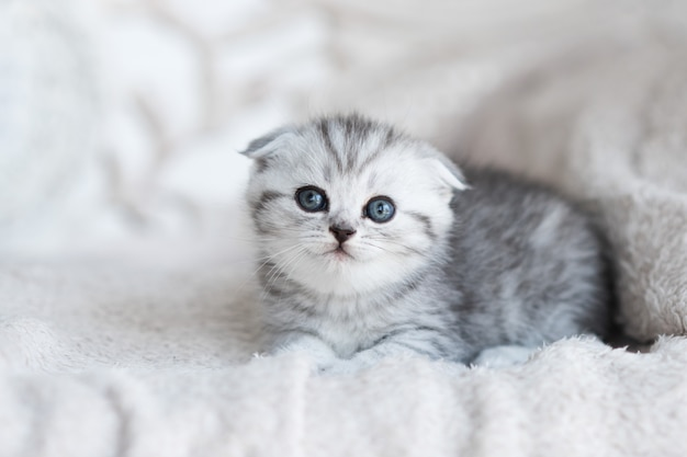 Little grey kitten with blue eyes lies on the grey couch
