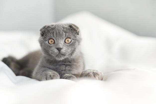Маленький серый шотландский котенок лежит на белой кровати и смотрит в камеру, крупным планом портрет