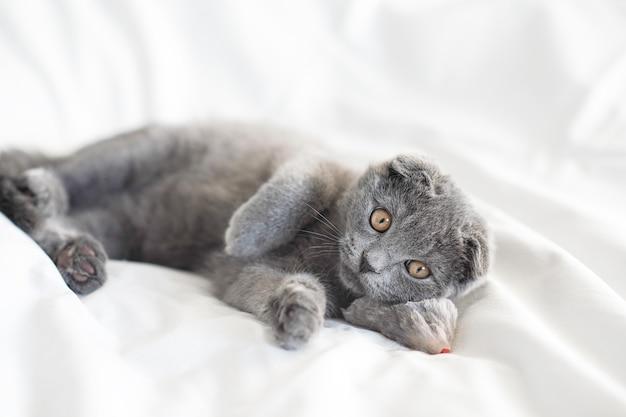 Маленький серый шотландский котенок лежит со своей мышкой на белой кровати, портрет крупным планом