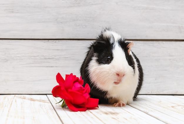 Little guinea pig on white wall