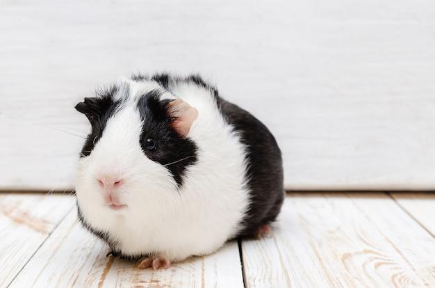 Little guinea pig on white