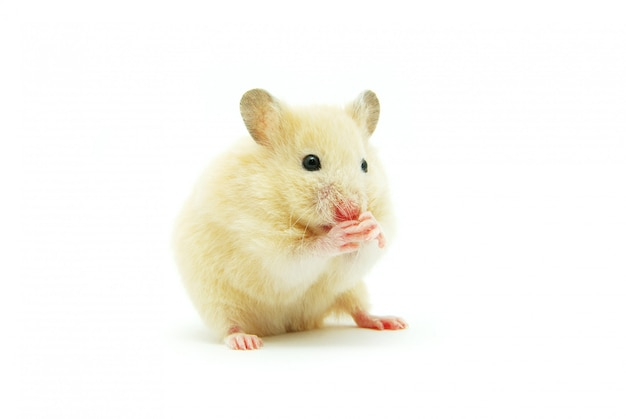 Little hamster