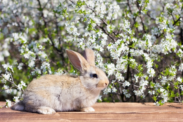 A little hare sits on a wooden table of a blossoming tree. spring hare. easter bunny