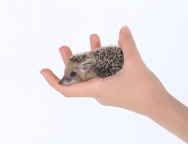 흰색 바탕에 손에 작은 고슴도치
