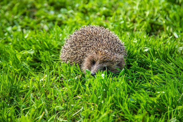 Little hedgehog in nature. animals.