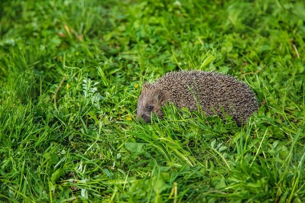 Little hedgehog in nature.