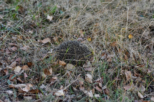 Little hedgehog in the woods