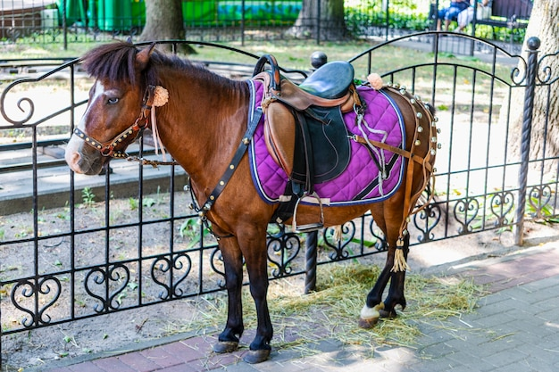 Little horse - pony in the park in full harness. pet. close-up.