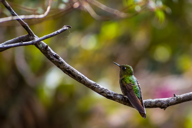 Little humming bird green