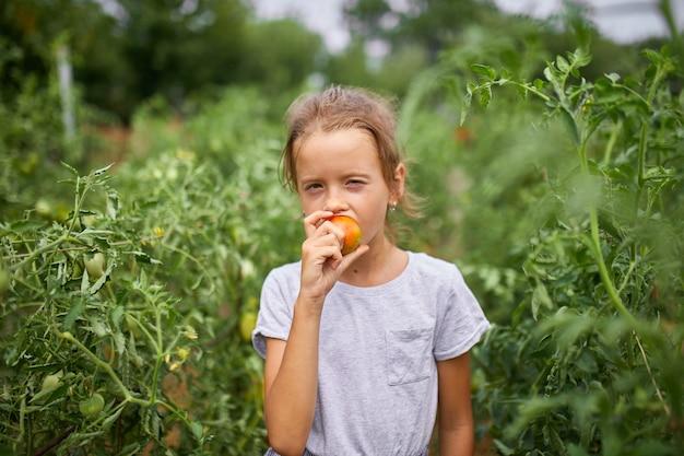 Маленькая девочка ребенка ест и наслаждается восхитительным урожаем органических красных помидоров в домашнем садоводстве, производстве овощных продуктов. выращивание томатов, осенний урожай.