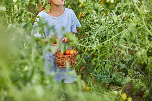 Маленькая девочка собирает урожай органических красных помидоров в домашнем садоводстве