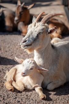 Маленький ребенок с мамой козы лежат на солнечной земле. шерсть белая. на заднем плане - размытые коричневые козы. вертикальный.