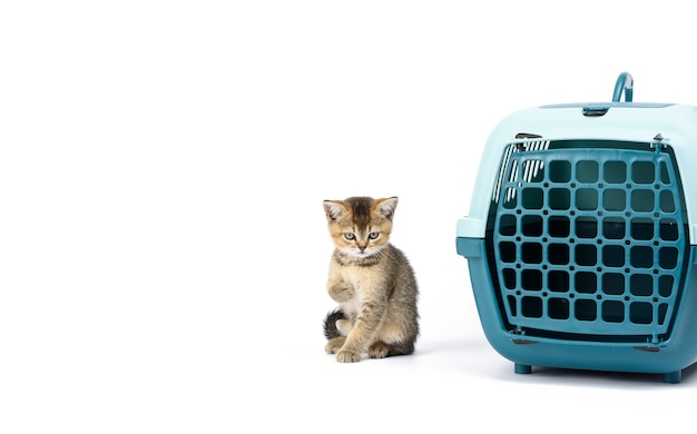 Little kitten british chinchilla straight-eared ticked on gold sits on a white background and large plastic carrier cage for cats and dogs on white background, copy space
