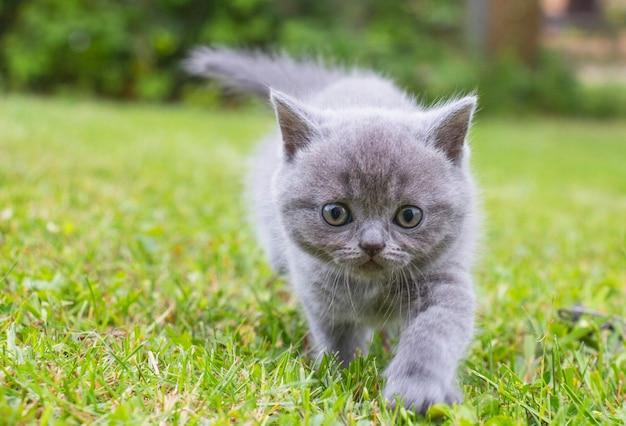 작은 새끼 고양이 영국은 푸른 잔디에 산책을 간다
