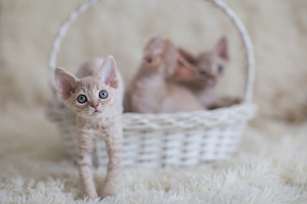 白いwかごの中の子猫