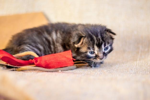 A little kitten lies on a gift package. birthday gift. kitten is resting_