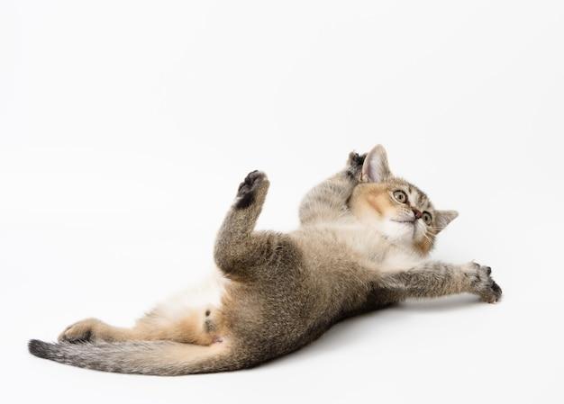 Маленький котенок шотландской шиншиллы лежит, милые животные играют, а кошка лежит на спине