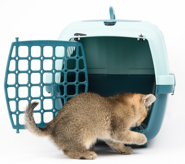 Little kitten scottish chinchilla straight-eared ticked on gold sits on a white background and large plastic carrier cage for cats and dogs on white background