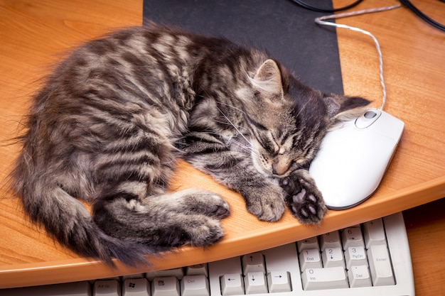 A little kitten sleeping near the computer, putting his head on a computer mouse. rest at work
